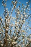 απομονωμένο ανασκόπηση λευκό δέντρων άνοιξη Στοκ φωτογραφίες με δικαίωμα ελεύθερης χρήσης