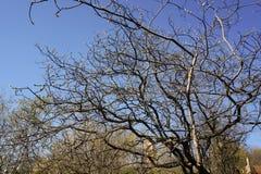 απομονωμένο ανασκόπηση λευκό δέντρων άνοιξη Στοκ εικόνες με δικαίωμα ελεύθερης χρήσης