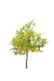 απομονωμένο ανασκόπηση λευκό δέντρων Στοκ Εικόνα