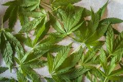 απομονωμένο ανασκόπηση λευκό μαριχουάνα φύλλων Στοκ Εικόνες