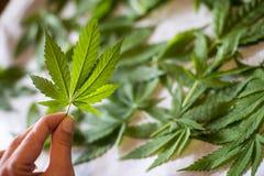 απομονωμένο ανασκόπηση λευκό μαριχουάνα φύλλων Στοκ εικόνες με δικαίωμα ελεύθερης χρήσης