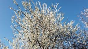 απομονωμένο ανασκόπηση λευκό δέντρων άνοιξη απόθεμα βίντεο