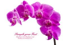 απομονωμένο ανασκόπηση orchid λευκό Άφθονο άνθισμα της ροδανιλίνης ορχιδέας phalaenopsis background candle flowers spa πετσέτα κί Στοκ φωτογραφίες με δικαίωμα ελεύθερης χρήσης