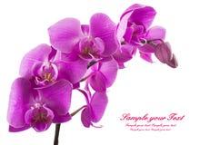 απομονωμένο ανασκόπηση orchid λευκό Άφθονο άνθισμα της ροδανιλίνης ορχιδέας phalaenopsis background candle flowers spa πετσέτα κί Στοκ εικόνα με δικαίωμα ελεύθερης χρήσης