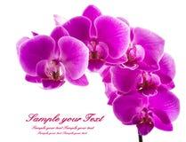 απομονωμένο ανασκόπηση orchid λευκό Άφθονο άνθισμα της ροδανιλίνης ορχιδέας phalaenopsis background candle flowers spa πετσέτα κί Στοκ φωτογραφία με δικαίωμα ελεύθερης χρήσης