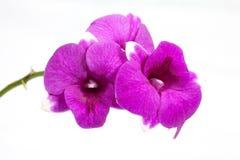 απομονωμένο ανασκόπηση orchid λευκό Στοκ Εικόνα