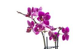 απομονωμένο ανασκόπηση orchid λευκό Στοκ Φωτογραφία