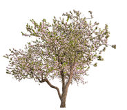 Απομονωμένο ανθίζοντας ανοικτό ροζ μεγάλο Apple-δέντρο Στοκ φωτογραφίες με δικαίωμα ελεύθερης χρήσης