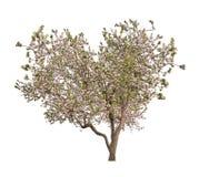 Απομονωμένο ανθίζοντας ανοικτό ροζ Apple-δέντρο μορφής καρδιών Στοκ εικόνες με δικαίωμα ελεύθερης χρήσης