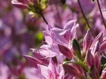 Απομονωμένο ανοικτό μωβ λουλούδι αζαλεών στοκ εικόνα