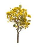 Απομονωμένο ασημένιο δέντρο σαλπίγγων ή κίτρινο Tabebuia στο άσπρο υπόβαθρο Στοκ Φωτογραφίες