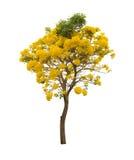 Απομονωμένο ασημένιο δέντρο σαλπίγγων ή κίτρινο Tabebuia στο άσπρο υπόβαθρο Στοκ Φωτογραφία