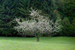 απομονωμένο δέντρο άνοιξη Στοκ Εικόνα