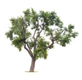 απομονωμένο δέντρο δαμάσκ&e Στοκ Φωτογραφία