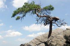 Απομονωμένο δέντρο πεύκων Στοκ φωτογραφία με δικαίωμα ελεύθερης χρήσης