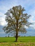 απομονωμένο δέντρο Στοκ Φωτογραφία