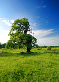 απομονωμένο δέντρο στοκ εικόνα