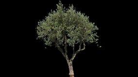 Απομονωμένο ελιά δέντρο απόθεμα βίντεο