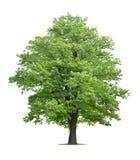 απομονωμένο λευκό δέντρων σφενδάμνου Στοκ εικόνα με δικαίωμα ελεύθερης χρήσης