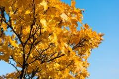 απομονωμένο λευκό δέντρων σφενδάμνου Στοκ Εικόνα