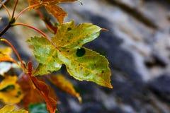 απομονωμένο λευκό δέντρων σφενδάμνου Στοκ Φωτογραφίες