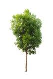 απομονωμένο λευκό δέντρων Στοκ φωτογραφίες με δικαίωμα ελεύθερης χρήσης