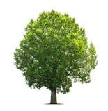 απομονωμένο λευκό δέντρω&nu Στοκ εικόνα με δικαίωμα ελεύθερης χρήσης