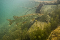 απομονωμένο λευκό λούτσων ανασκόπησης ψάρια Στοκ Φωτογραφία