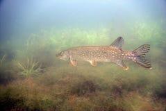 απομονωμένο λευκό λούτσων ανασκόπησης ψάρια Στοκ εικόνες με δικαίωμα ελεύθερης χρήσης