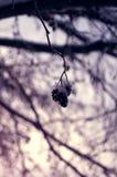 απομονωμένο λευκό πεύκων αντικειμένου ανασκόπησης κώνοι Στοκ εικόνες με δικαίωμα ελεύθερης χρήσης