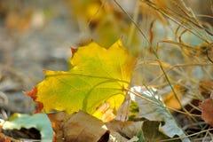 απομονωμένο λευκό σφενδάμνου φύλλων φθινοπώρου ανασκόπηση Στοκ Εικόνα