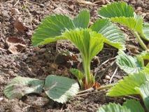 απομονωμένο λευκό φραουλών ανασκόπησης κήπος στοκ εικόνα με δικαίωμα ελεύθερης χρήσης