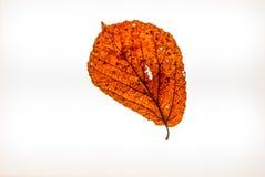 Απομονωμένο ζωηρόχρωμο φθινόπωρο leafes σε ένα lightbox Στοκ φωτογραφία με δικαίωμα ελεύθερης χρήσης