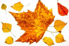 Απομονωμένο ζωηρόχρωμο φθινόπωρο leafes σε ένα lightbox - 11 Στοκ φωτογραφία με δικαίωμα ελεύθερης χρήσης