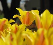 Απομονωμένο κίτρινο και πορτοκαλί υπόβαθρο τουλιπών στοκ εικόνα με δικαίωμα ελεύθερης χρήσης