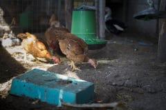 Απομονωμένο κοτόπουλο σε ένα κοτέτσι κοτόπουλου στοκ φωτογραφία