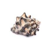 απομονωμένο κοχύλι θάλασ στοκ εικόνα