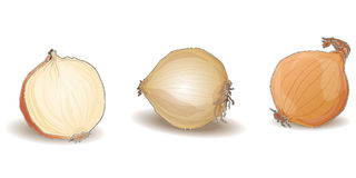 Απομονωμένο κρεμμύδι διάνυσμα Στοκ φωτογραφία με δικαίωμα ελεύθερης χρήσης