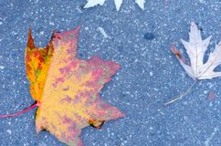 απομονωμένο λευκό σφενδάμνου φύλλων φθινοπώρου ανασκόπηση Φύλλωμα φθινοπώρου Καναδικός σφένδαμνος Στοκ Εικόνες