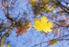 απομονωμένο λευκό σφενδάμνου φύλλων φθινοπώρου ανασκόπηση Στοκ φωτογραφία με δικαίωμα ελεύθερης χρήσης