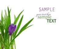 απομονωμένο λευκό ύδατος απελευθερώσεων κρόκων λουλούδι στοκ εικόνες
