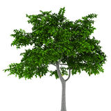 απομονωμένο λευκό δέντρω&nu Στοκ Εικόνες