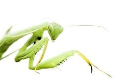 απομονωμένο λευκό mantis στοκ εικόνα με δικαίωμα ελεύθερης χρήσης