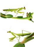 απομονωμένο λευκό mantis στοκ εικόνες με δικαίωμα ελεύθερης χρήσης