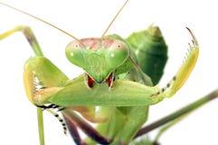 απομονωμένο λευκό mantis στοκ φωτογραφία με δικαίωμα ελεύθερης χρήσης