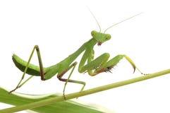 απομονωμένο λευκό mantis στοκ φωτογραφίες