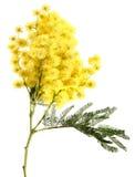 απομονωμένο λευκό mimosa στοκ εικόνες
