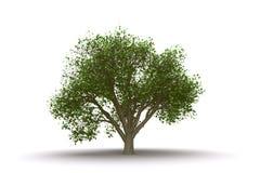 απομονωμένο λεύκα δέντρο απεικόνιση αποθεμάτων