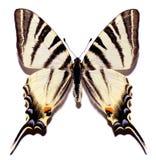 απομονωμένο λιγοστό swallowtail Στοκ φωτογραφία με δικαίωμα ελεύθερης χρήσης