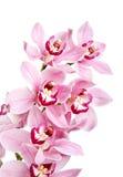 απομονωμένο λουλούδια orchid ροζ Στοκ Φωτογραφία